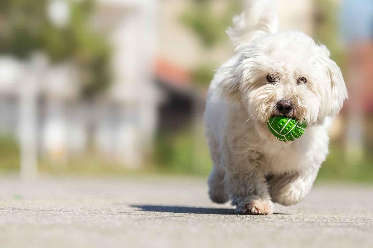 cagnolino bianco con il mantello riccio