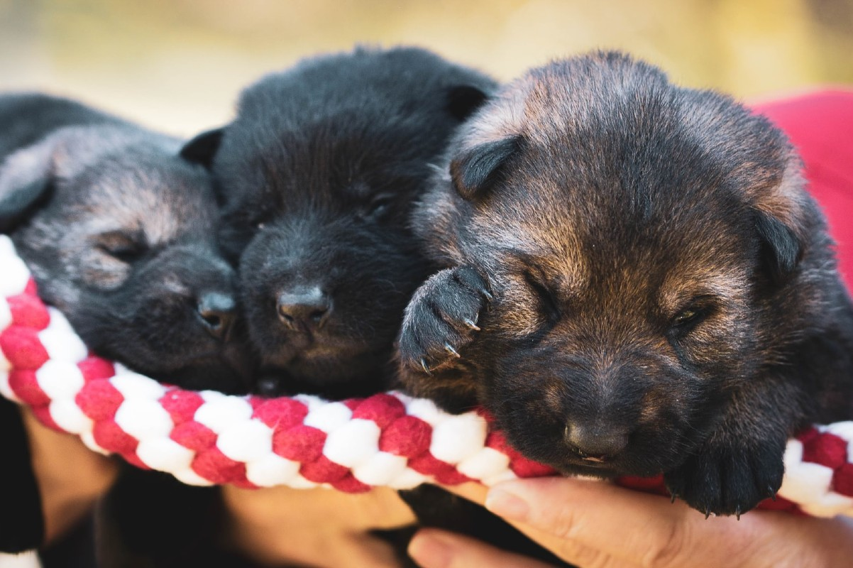 Come nascono i cuccioli di cane?