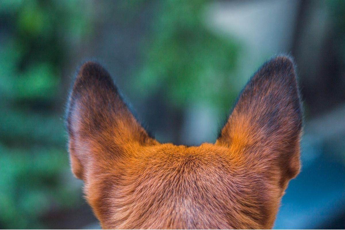 orecchie di un cane viste da dietro