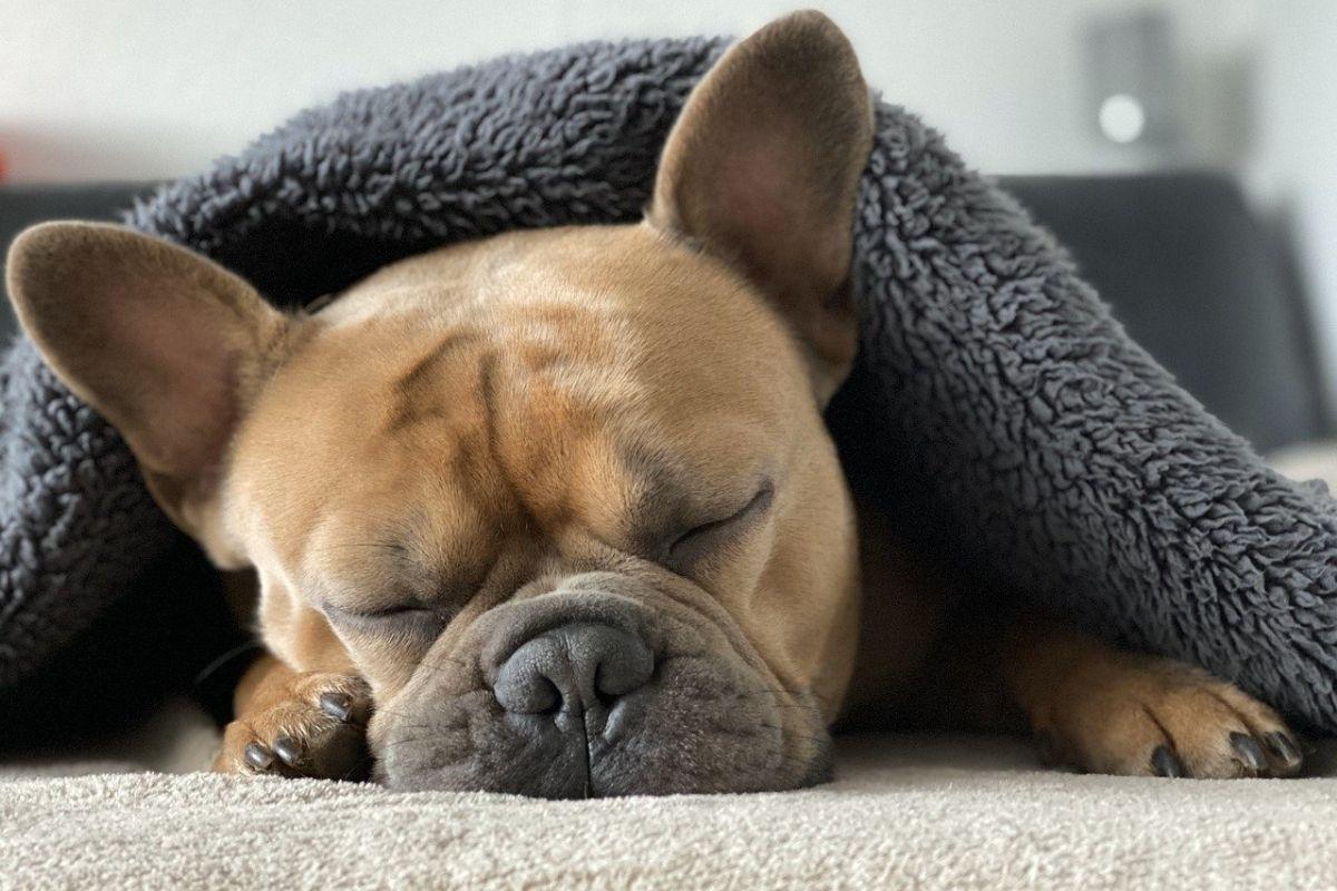 cane dorme sotto una coperta