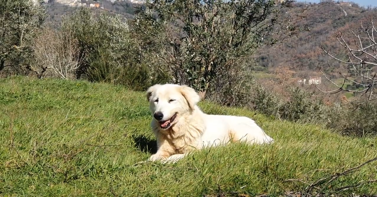 La cucciola Fedelina prende il sole coricata su un prato verde (VIDEO)