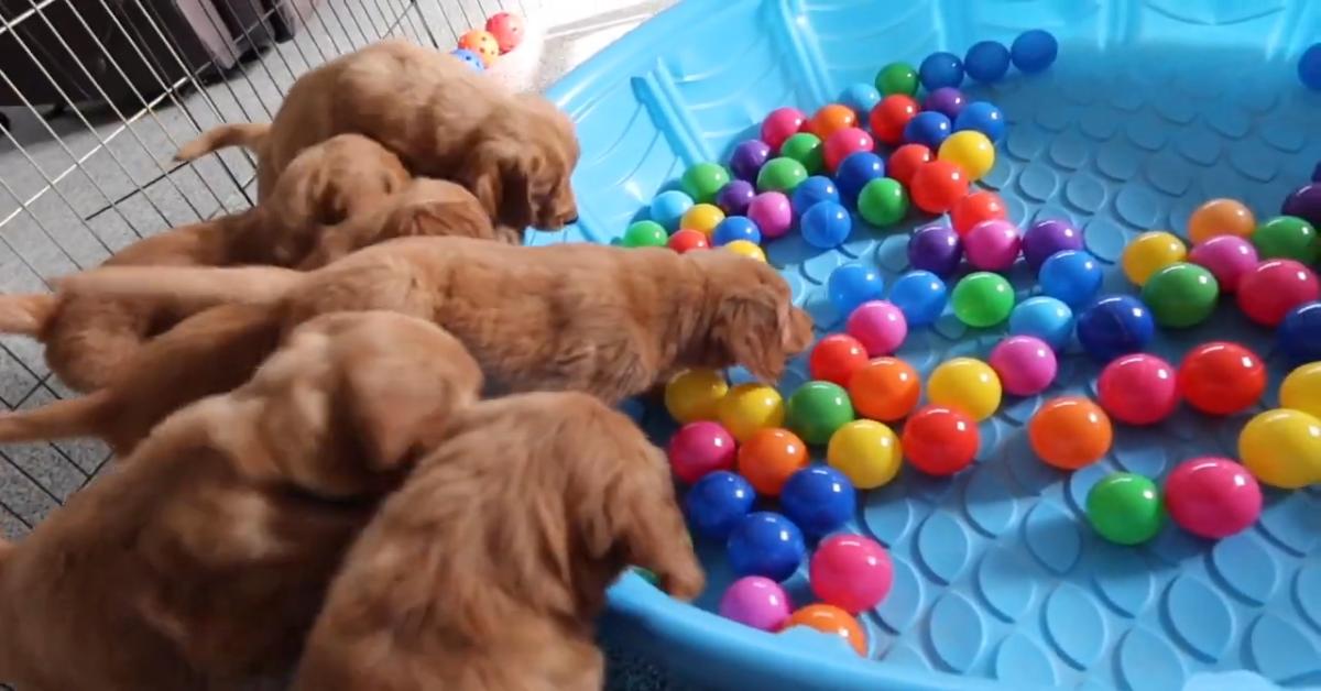 Dei cuccioli di Golden Retriever saltano per prendere un gioco colorato (VIDEO)