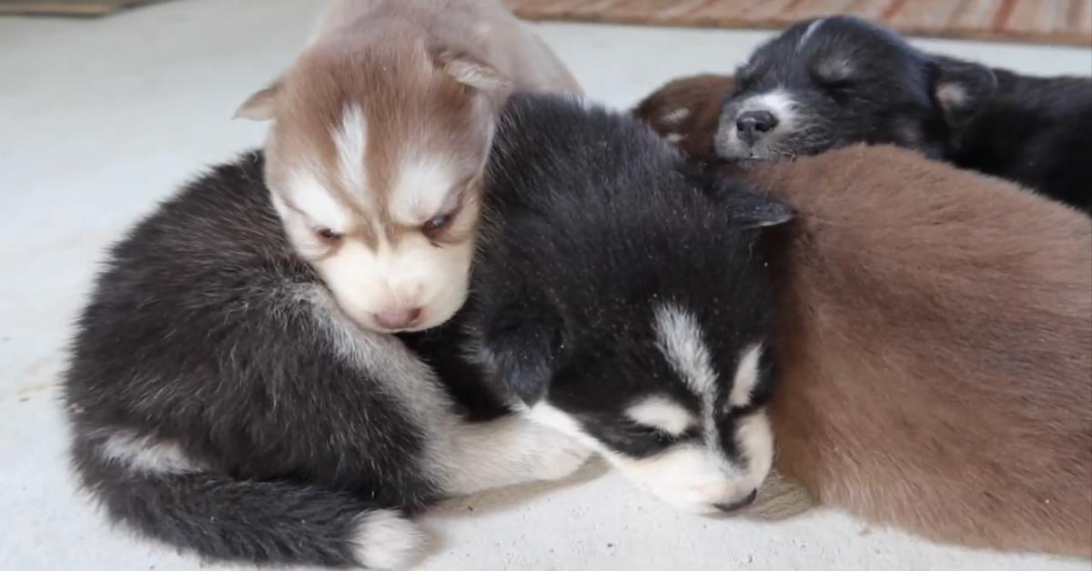 Dei cuccioli di Husky trascorrono una giornata fuori casa e si rilassano (VIDEO)