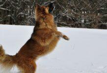 cuccioli di cane pazzi di felicità di fronte al pupazzo di neve gigante