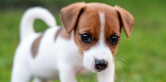 cuccioli di cane quando camminano
