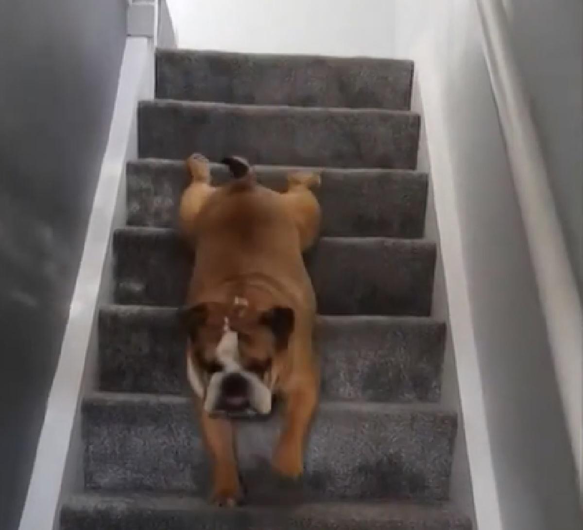 Cucciolo Bulldog si trascina per le scale, la sua innata pigrizia in video