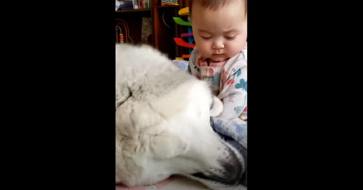 cucciolo di Alaskan Malamute fa da babysitter