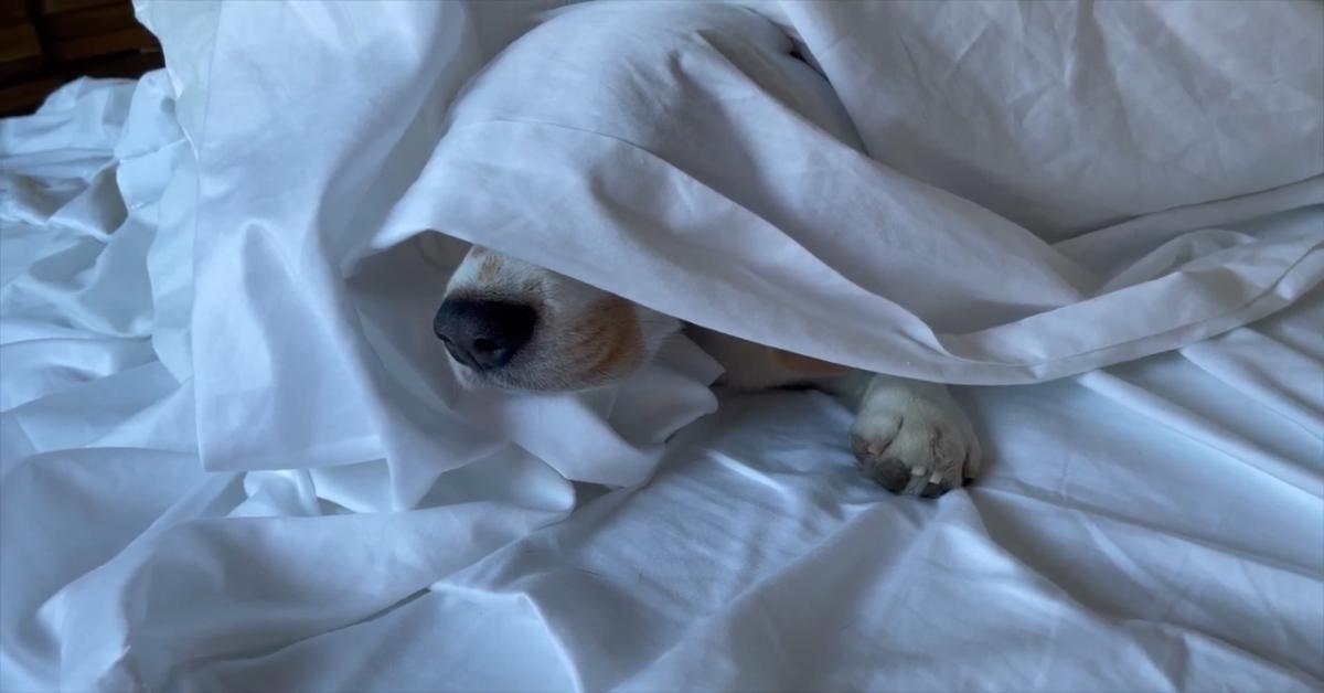 Il cucciolo di Beagle chiede la colazione al suo papà umano (VIDEO)