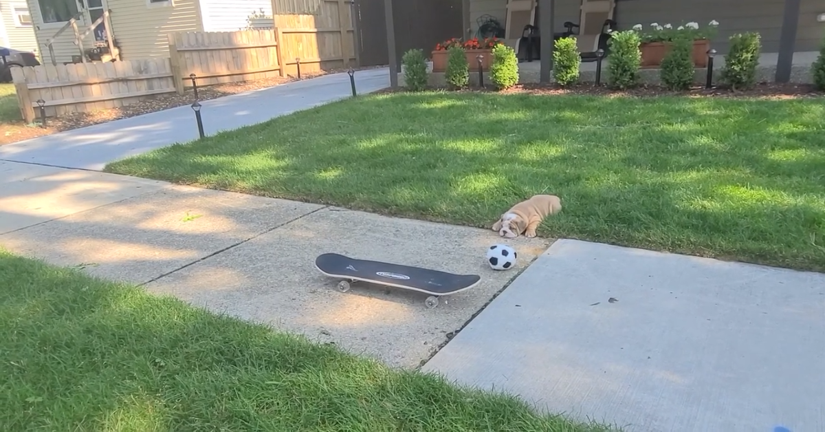 Un cucciolo di Bulldog inglese va sullo skate per la prima volta (VIDEO)