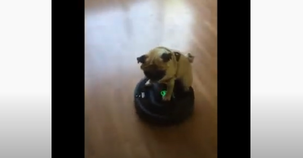 Il cucciolo di Carlino a bordo del suo roomba (VIDEO)