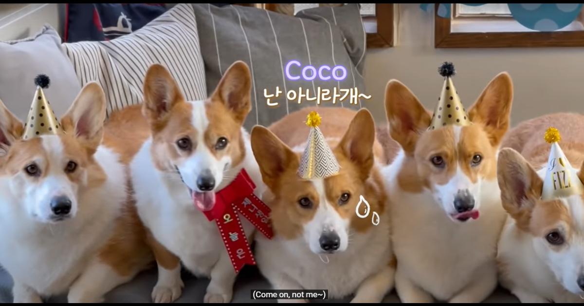 Un cucciolo di Corgi fa il compleanno e festeggia con i figli e i padroni (VIDEO)