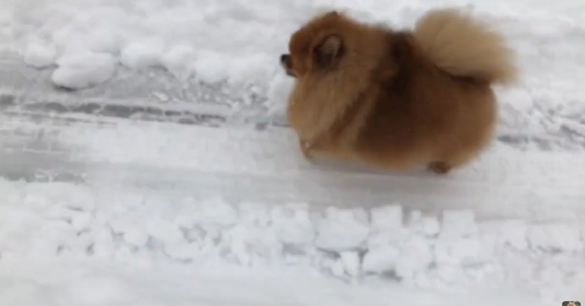 Il cucciolo di Pomerania fa una passeggiata sulla neve (VIDEO)