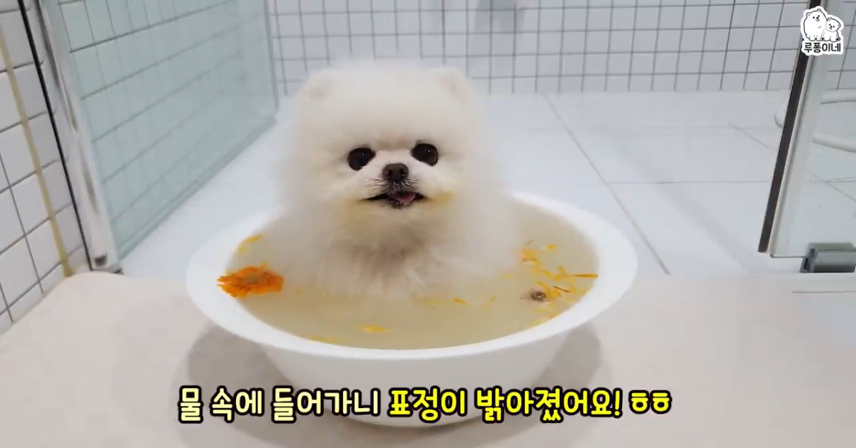Cucciolo di Pomerania triste ritorna ad essere felice grazie alla padrona (VIDEO)