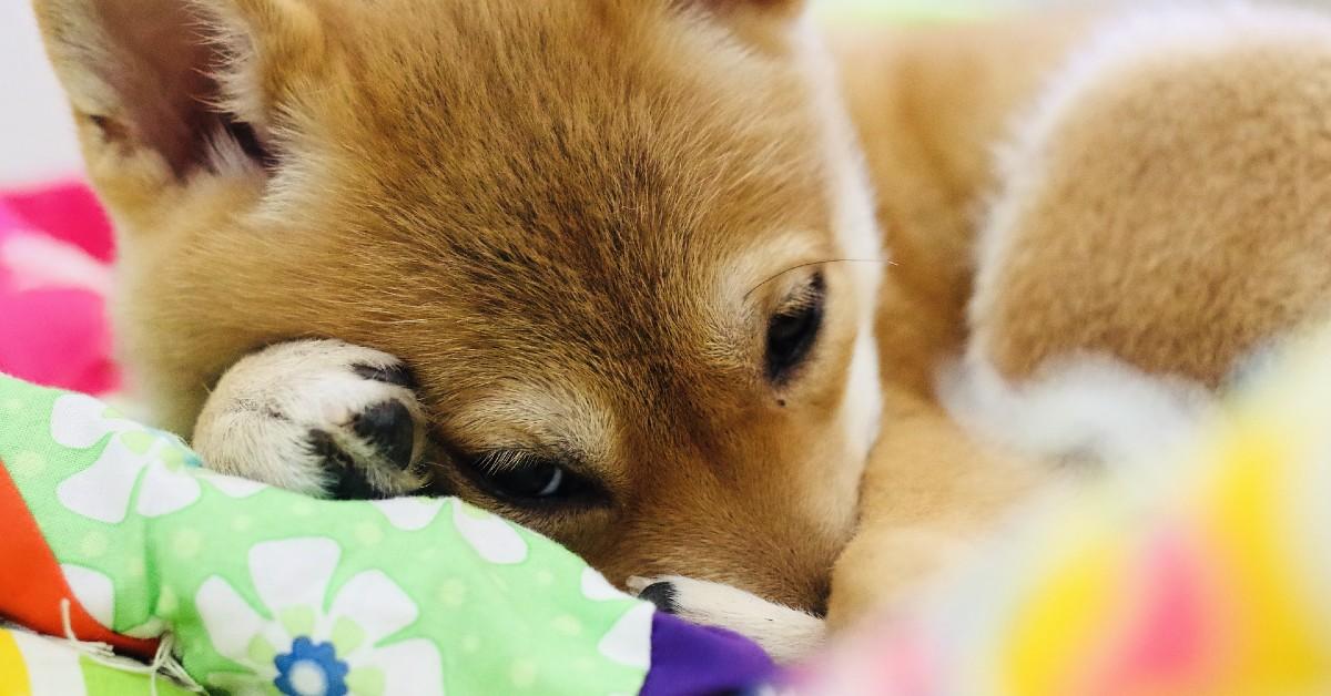Il cucciolo di Shiba Inu alle prese con un nuovo e strano amico (VIDEO)
