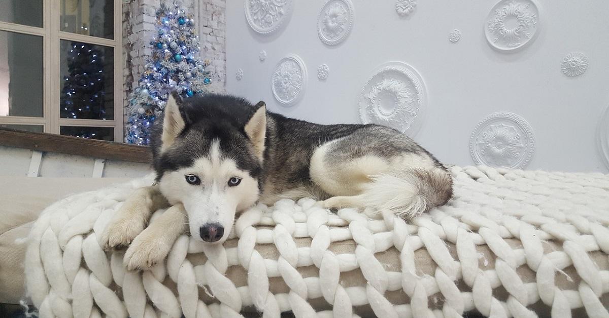 cucciolo di Siberian Husky mangia gli snack immaginari