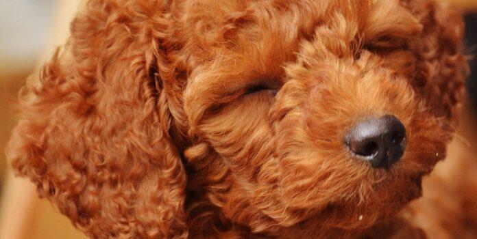 cucciolo di barboncino si diverte a fare le smorfie