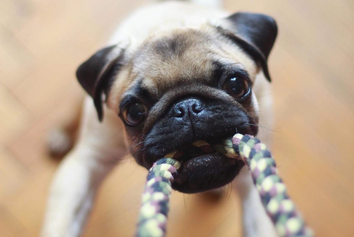 cane che gioca su due zampe