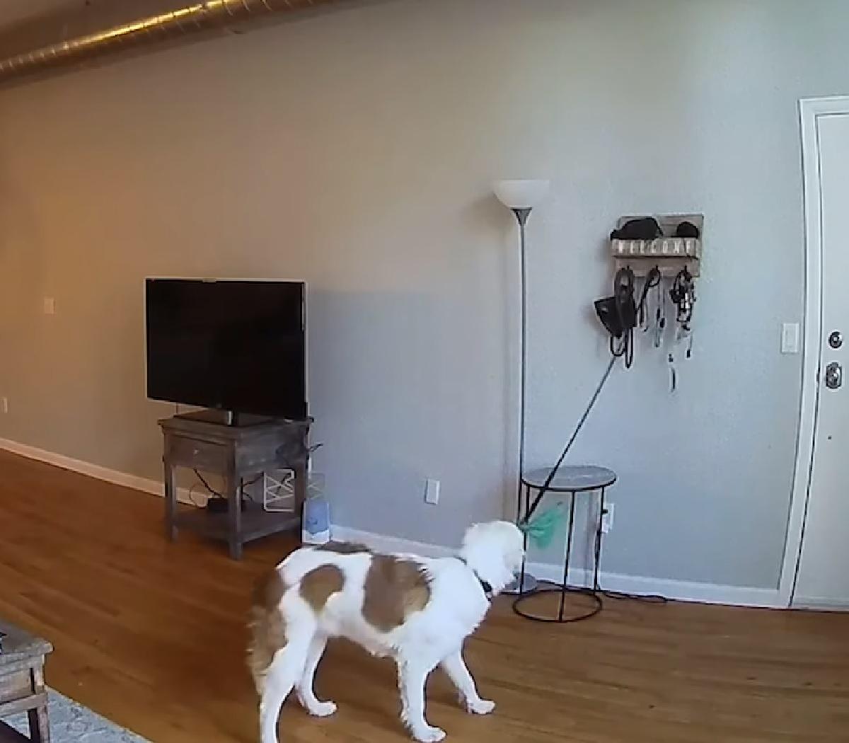 Cucciolo di cane vuole uscire per una passeggiata e sa come trasmettere il messaggio in video