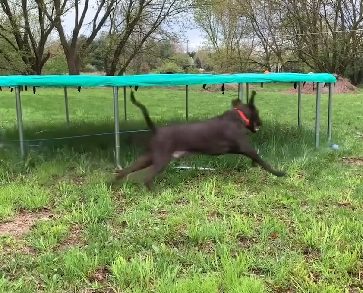 Cucciolo Labrador ha bisogno di sfogare le sue energie, nel video la geniale trovata del proprietario