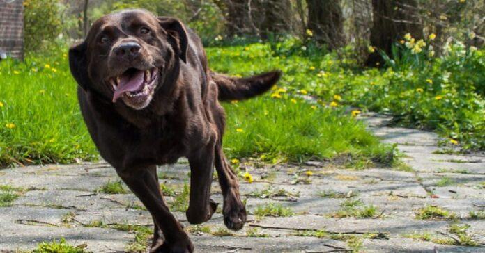cucciolo labrador ha bisogno di sfogare sue energie video geniale trovata
