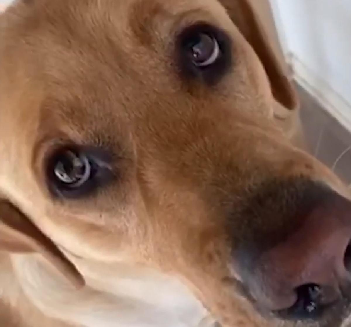 Cucciolo Labrador non ottiene la porzione di cibo che sperava, il suo imperdibile sguardo in video