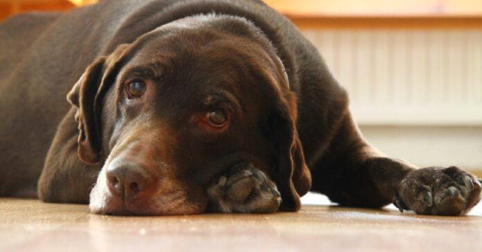cucciolo labrador non ottiene la porzione di cibo che sperava sguardo video