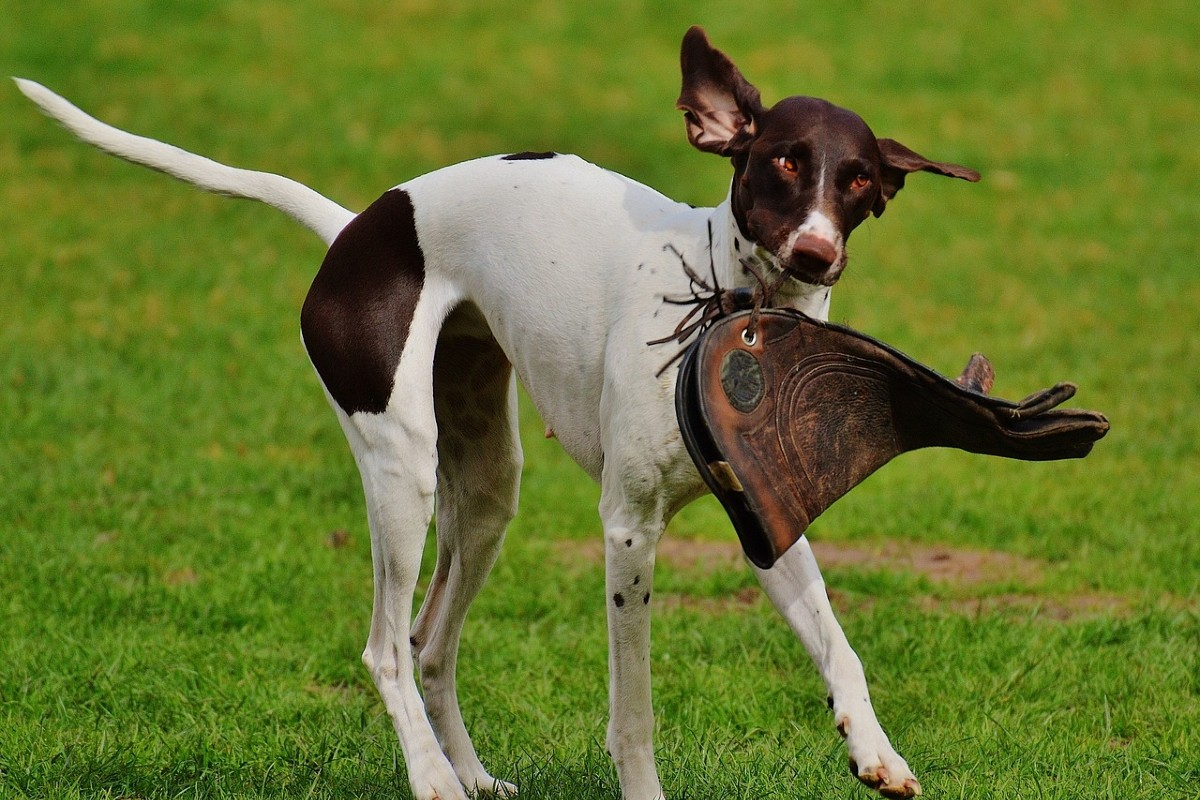cane che rompe qualcosa