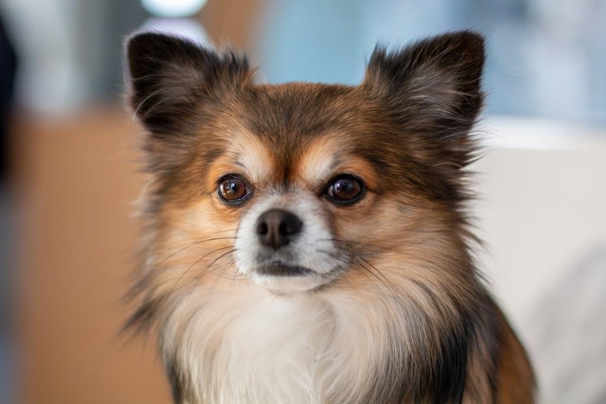 cane di taglia piccola a pelo lungo