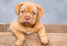 cucciolo di cane in cassetta di legno