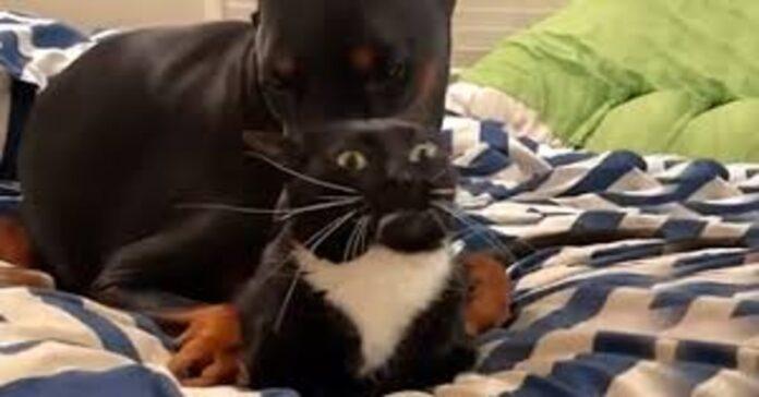 gatto sconvolto dall'affetto del dobermann