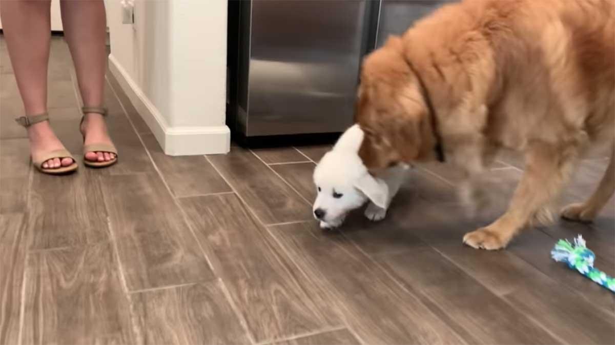 cucciolo e adulto golden retriever