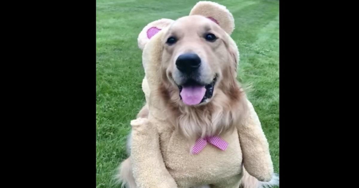 Golden primo piano vestito da orso