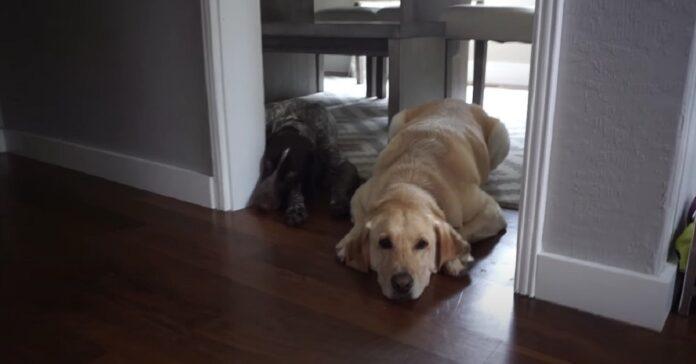 cani pancetta sfida