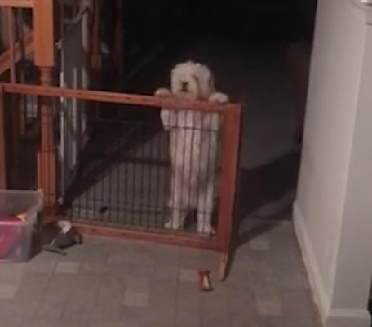 tucker cucciolo bichon vive baltimora