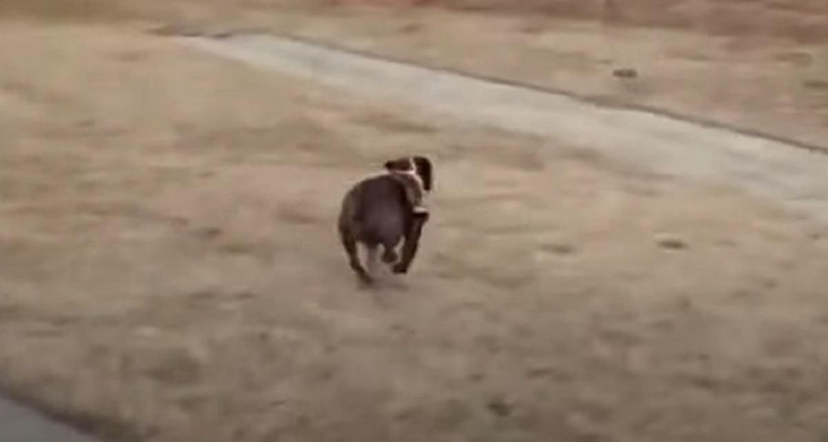 bulldog insegue cane