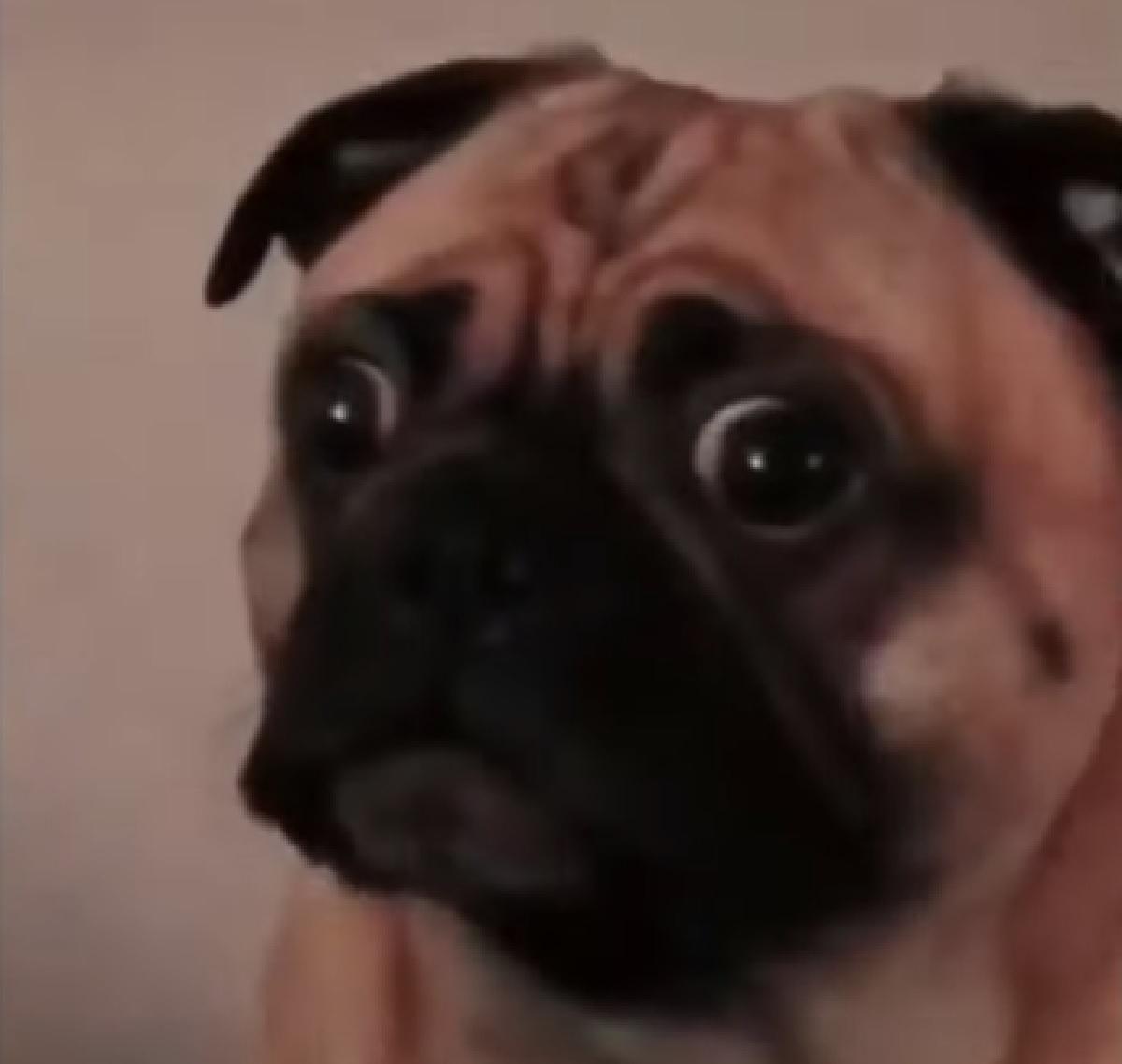 kobe cucciolo carlino non crede alle proprie orecchie