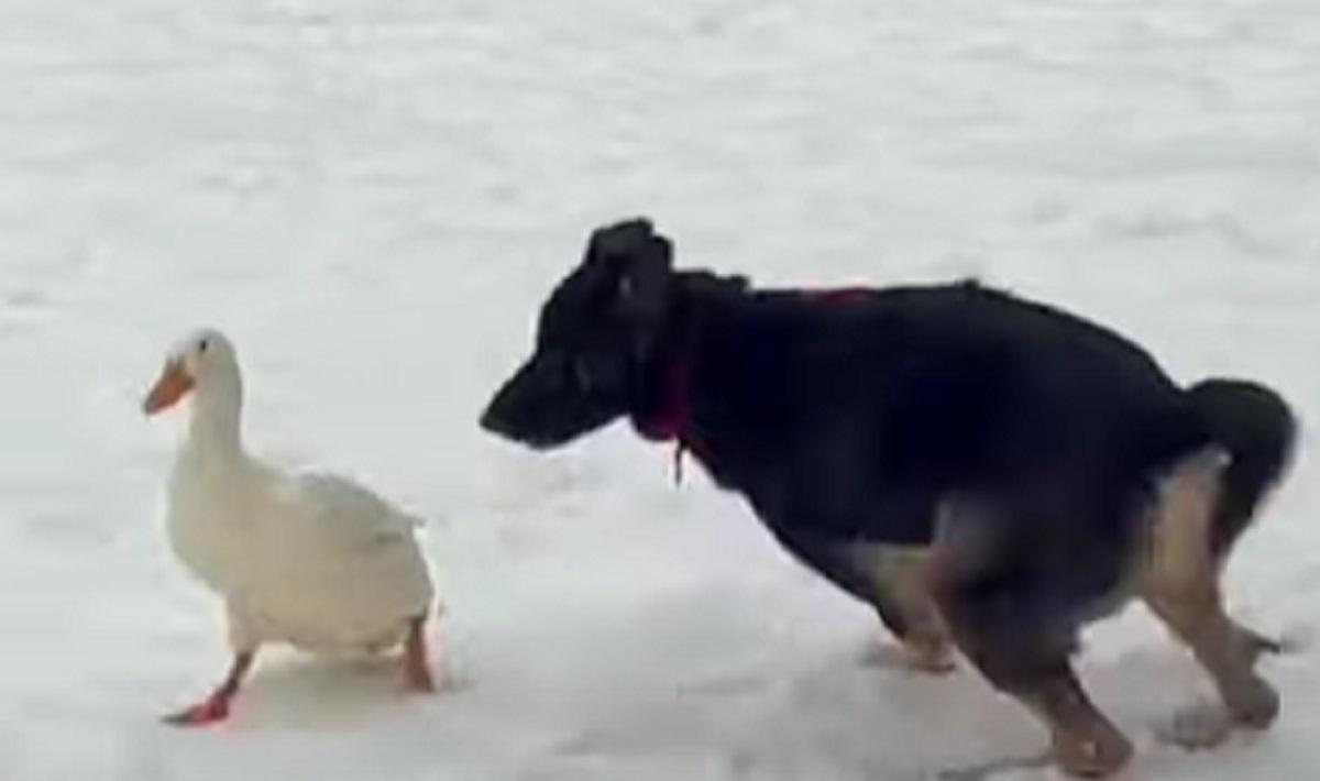 Il cucciolo di cane e l'anatra hanno un rapporto d'amicizia straordinario, il video vi scalderà il cuore