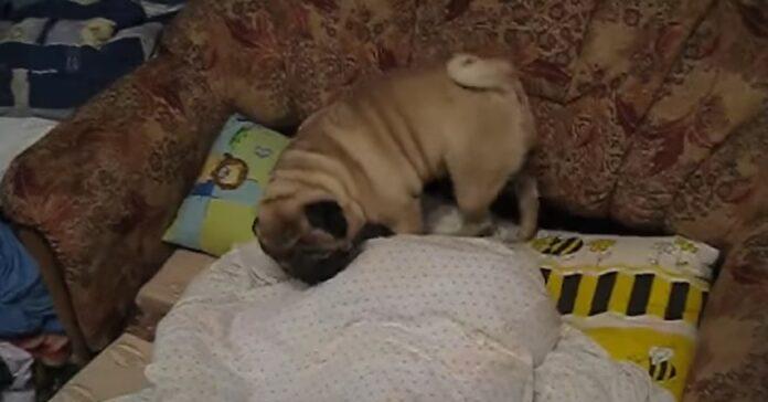 cucciolo sveglia amico