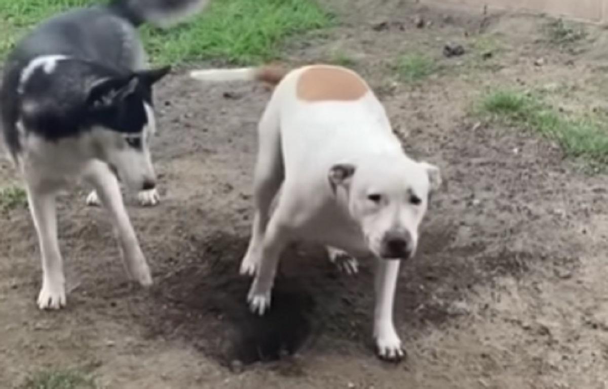 Il cucciolo di Husky prova ad avvisare la sua amica per dirgli che è nei guai, il video è da ridere a crepapelle