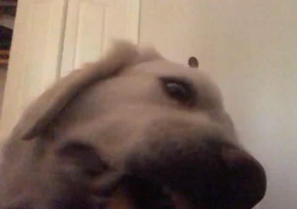 jackson cucciolo golden tentazione sopravvento