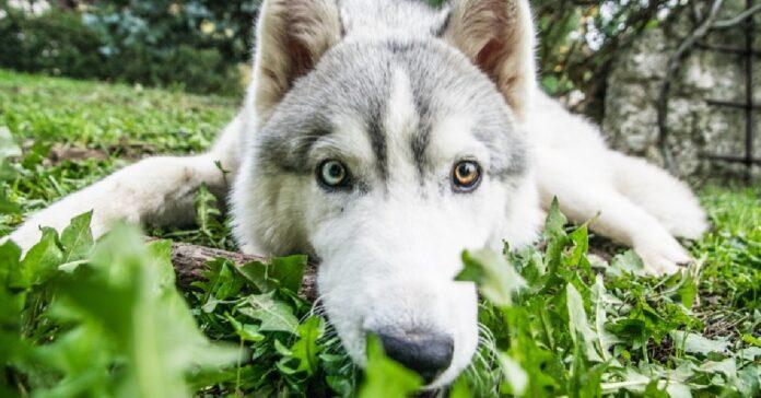 cucciolo husky mostra in pubblico le sue doti canore il video