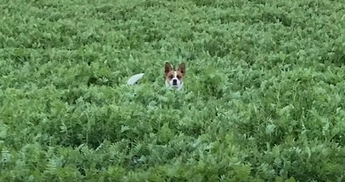 cane cucciolo campo