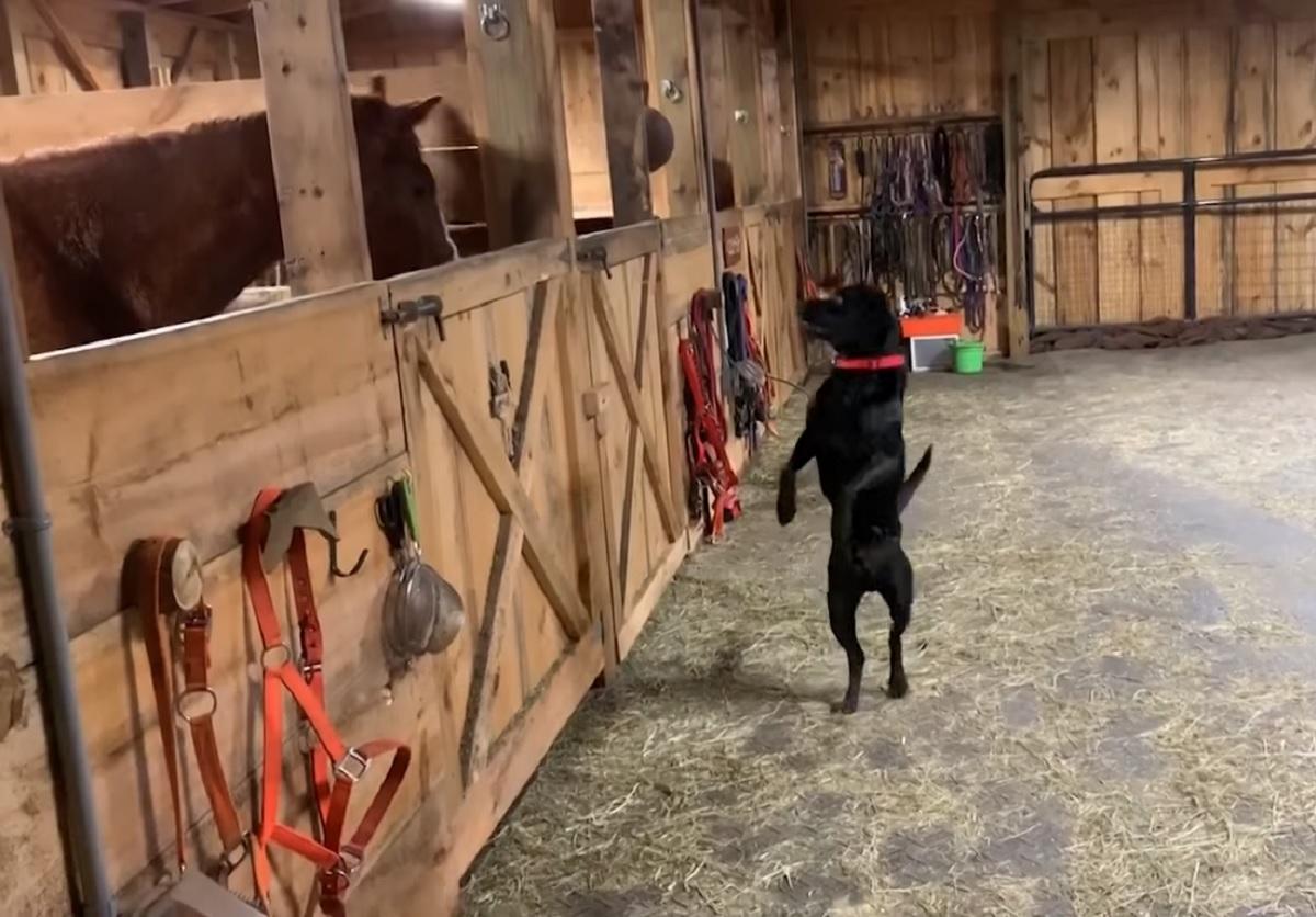 cucciolo labrador amicizia cavalli stalla