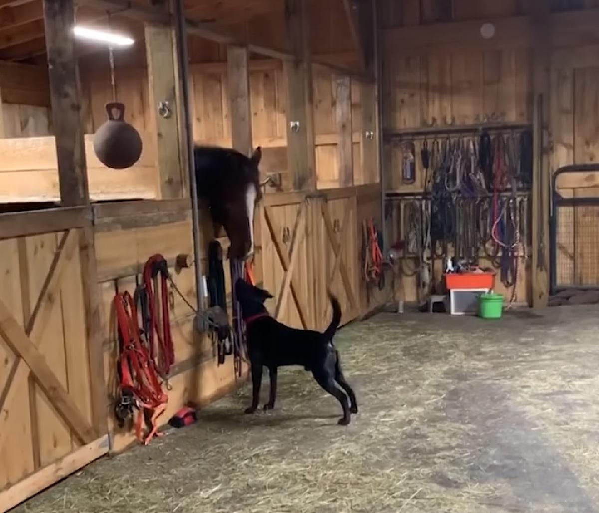 Il cucciolo Labrador conosce dei cavalli per la prima volta, il video dell'incontro vi lascerà a bocca aperta