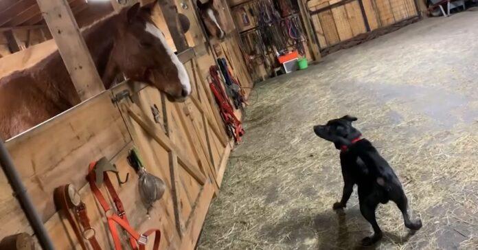 cucciolo labrador conosce per la prima volta cavalli video incontro