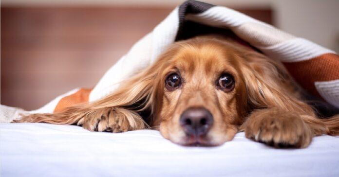 cucciolo leo legatissimo alla sua coperta video