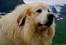 il cucciolo mastino tibetano partecipa alla blanket challenge il video