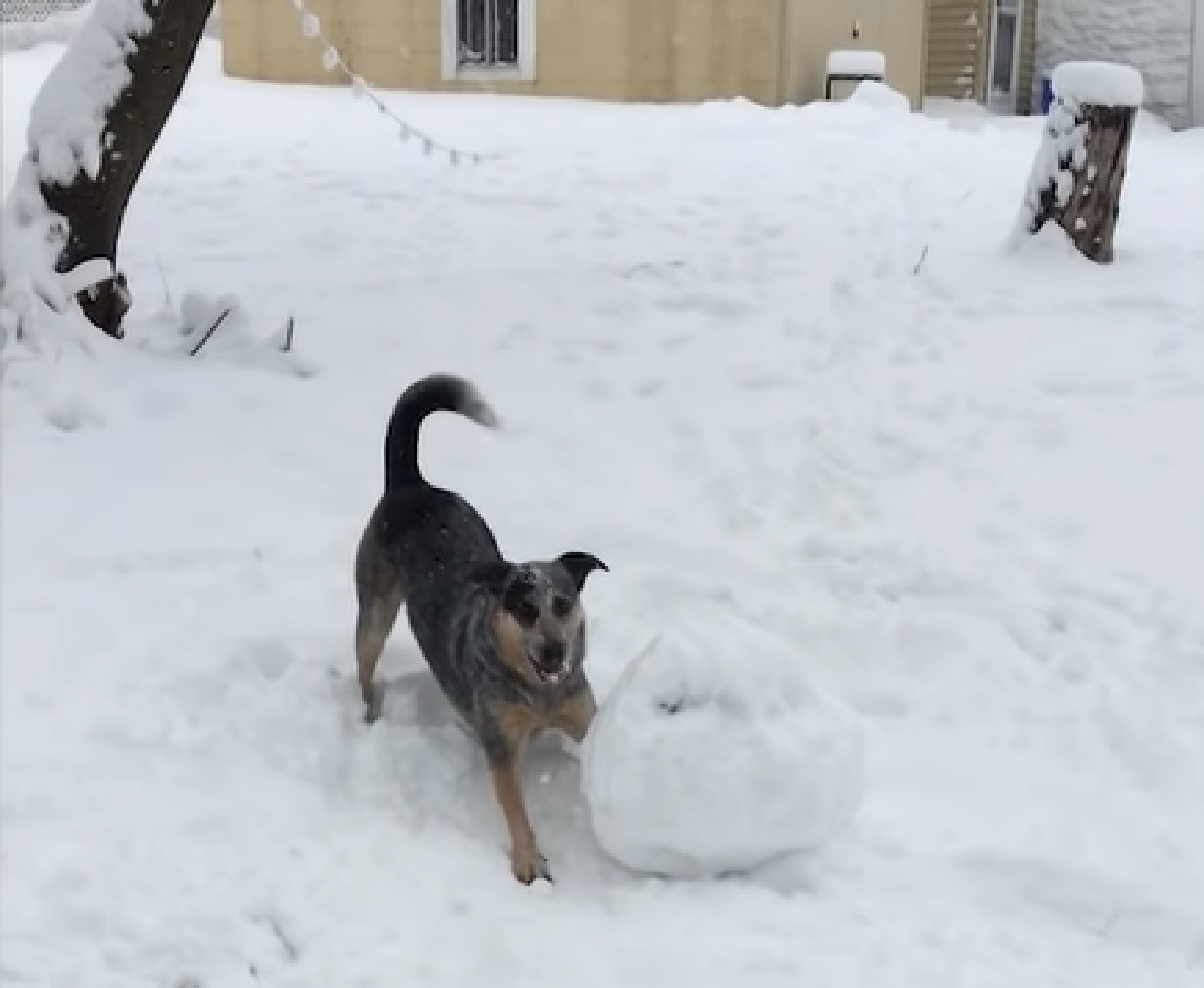 albus cucciolo pastore australiano palla di neve enorme