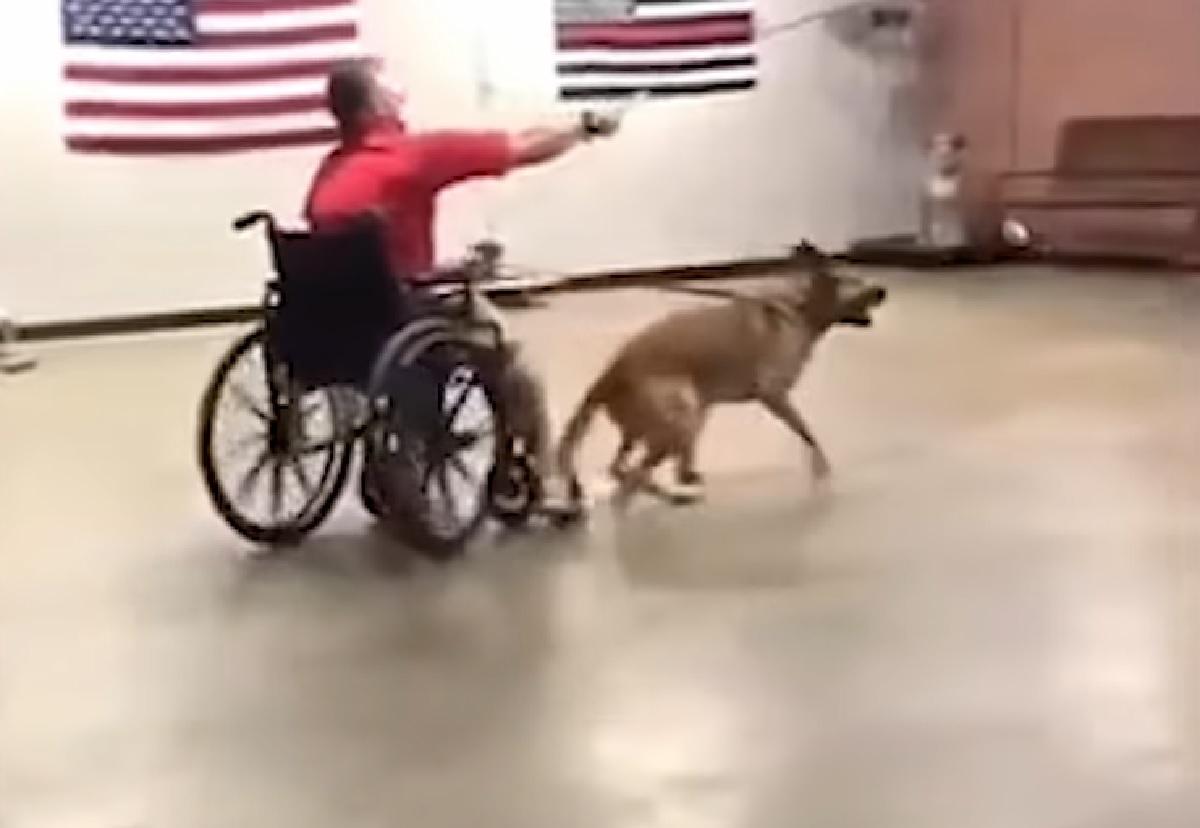 cucciolo pastore belga sedia a rotelle