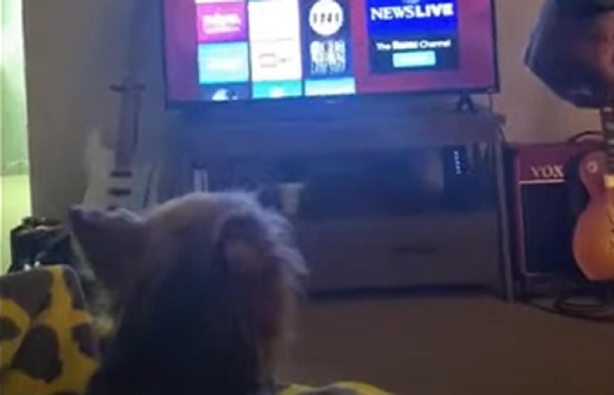 """Il cucciolo Yorkshire Terrier vuole guardare il suo """"programma TV"""" preferito, nel video l'esilarante richiesta"""